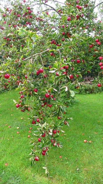 apples 09